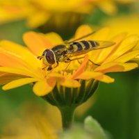 О пчёлах :: Владимир Гришин