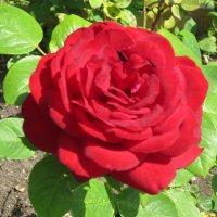Красная королева цветов :: Дмитрий Никитин