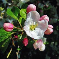 Цвет яблони :: Leonid Tabakov