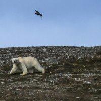 полярный медведь на не обитаемом острове :: Георгий