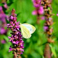 Цветы и бабочка. :: Михаил Столяров