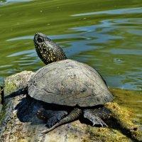 Болотная черепаха. :: vodonos241