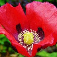 Мак летний цветок :: Валентина Пирогова