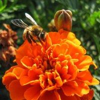 пчела IMG_1204 :: Олег Петрушин