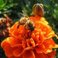 пчела IMG_1206 :: Олег Петрушин