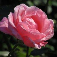 Розы... розы... :: Вячеслав Медведев