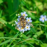 Трудится пчелка :: Олег Фролов