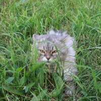 Кот на прогулке в парке :: Вячеслав & Алёна Макаренины