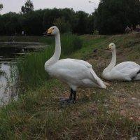 Лебеди :: Вячеслав & Алёна Макаренины