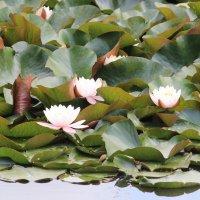 В Пятигорске цветут нимфеи :: Eugine Sinkevich