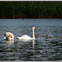 Лебединое семейство :: Михаил Цегалко