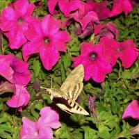 Бабочка-Бражник :: °•●Елена●•° ♀