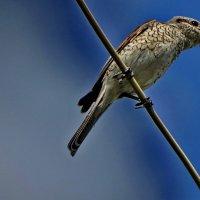 Сорокопут жулан. самка. :: vodonos241