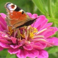 Бабочка и цветок :: Владимир