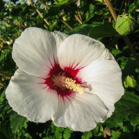 сирийская роза IMG_1313 :: Олег Петрушин