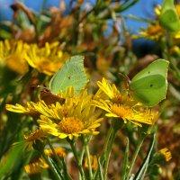 Бабочки :: Ольга Осовская