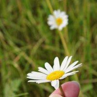 Цветок ромашка :: Шура Еремеева