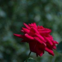 розы :: cfysx
