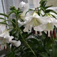 Белые лилии на балконе :: Marina Pr. **