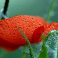 Poppy drops :: Олег Шендерюк