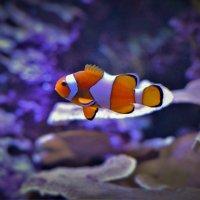 Рыба анемоновый ложный клоун :: Константин Анисимов