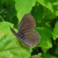 Голубянка карликовая (Cupido minimus) :: vodonos241
