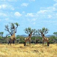 Животный Мир Африки. :: Jakob Gardok