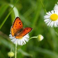 и снова бабочки  2 :: Александр Прокудин