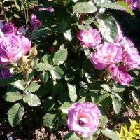 Роза Blue For Your :: alexeevairina .