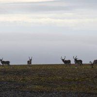 северные олени :: Алексей Логинов