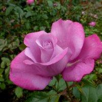 Сегодня только розы! :: Татьяна Лобанова
