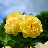Розы в Саду роз королевы Марии в Лондоне :: Тамара Бедай
