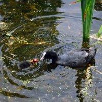 Мама с малышкой на озере в Саду роз королевы Марии :: Тамара Бедай