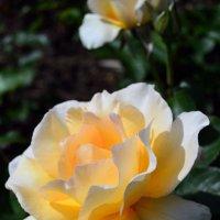 Королевский цветок в королевском Саду роз :: Тамара Бедай