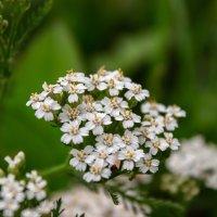 Полевые цветы :: Наталья Захарова