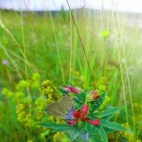 Бабочка :: Игорь Лобанов