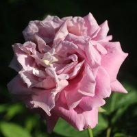 Роза Blue Queen - 2018 :: Наталья Герасимова