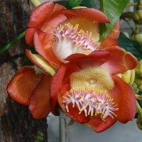 Цветок пушечного дерева :: Лариса