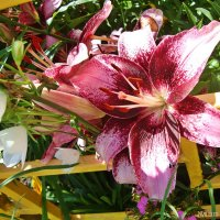 Время цветения лилий :: Лидия (naum.lidiya)