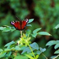 бабочка :: tatiana rastorgyeva