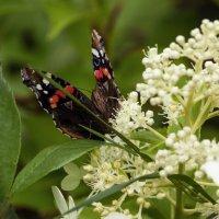 Бабочка на цветках :: Aнна Зарубина
