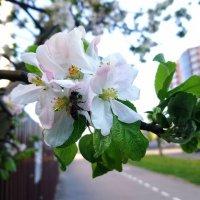 Когда яблони цветут... :: Ольга Винницкая (Olenka)