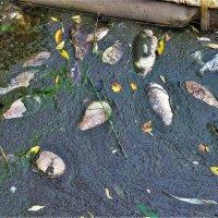 В Царицынских прудах снова целенаправленно травят рыбу и никому до этого дела нет ... !!! :: Константин Анисимов