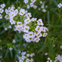 Цветы :: Александр Сапунов