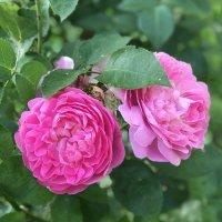 Роза :: Наталья Соколова