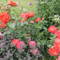 "Роза ""Gebruder Grimm"" флорибунда :: alexeevairina ."
