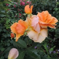 """Роза """"Alison """" флорибунда :: alexeevairina ."""