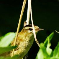Лугово́й чека́н (лат. Saxicola rubetra) — певчая птица семейства мухоловковых. :: vodonos241