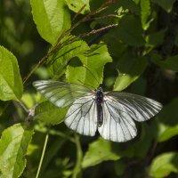 прозрачная бабочка :: оксана