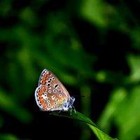 бабочка :: Svetlana Uryupina
